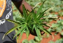 Jamaica's Medical Marijuana industry urgent, says Finance Minister