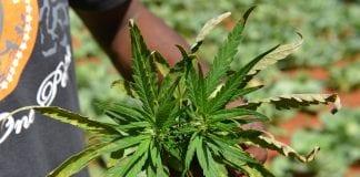 Jamaica's Medical Marijuana industry urgent, says Finance Minister