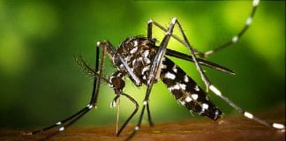 Mosquito with carry Zika Virus - Caribbean National Weekly News