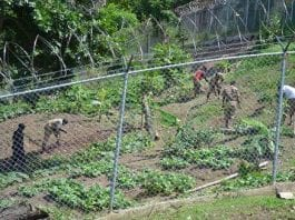 Jamaica to use correctional institutions in aggricultural capacity - Caribbean National Weekly News