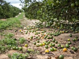 Hurricane Irma damages south Florida farms - Caribbean National Weekly News