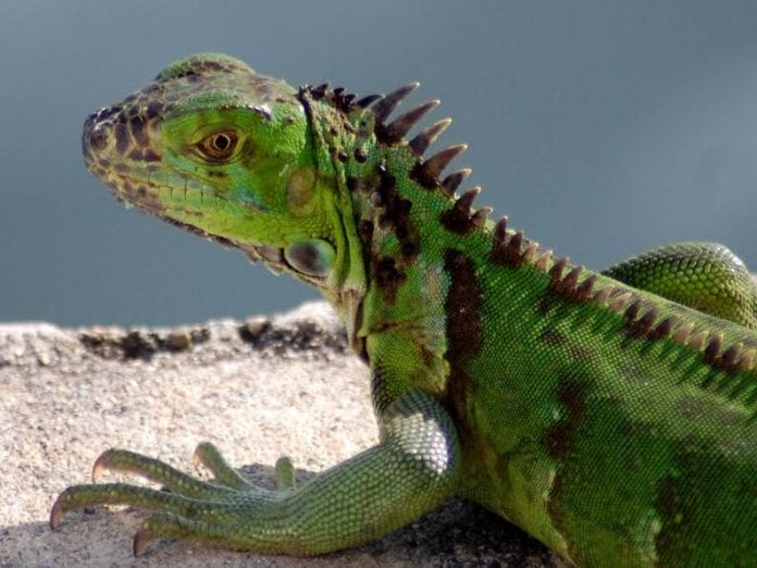 Futile attempts to cull Cayman's iguana population