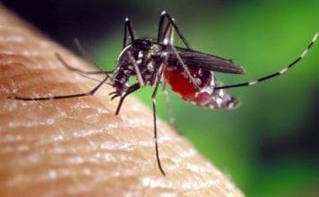 Mosquito dengue yellow fever