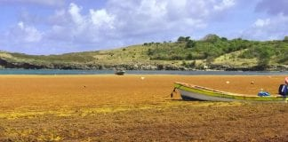 St. Lucia seaweed problem