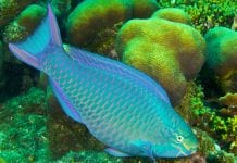 Parrotfish ban